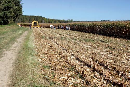 18-env-OGM-champ-de-maïs-transgénique-