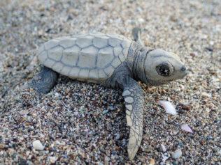 attirer une tortue